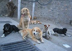 srinagar-dogs