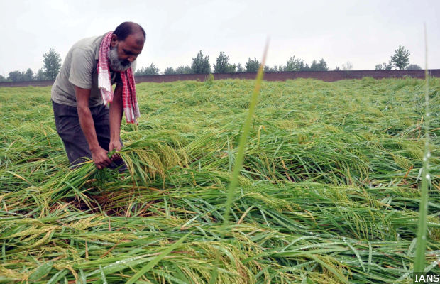 Faridabad: A farmer inspects his crops after rains left them damaged in Faridabad, Haryana on Sept 23, 2017. (Photo: IANS)