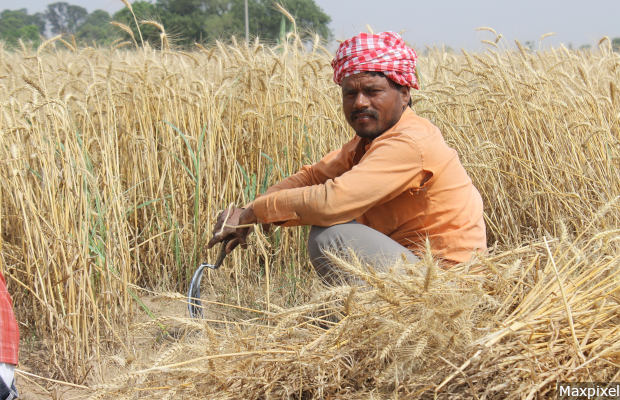 Patiala Wheat Fields India Men Punjab Farmer