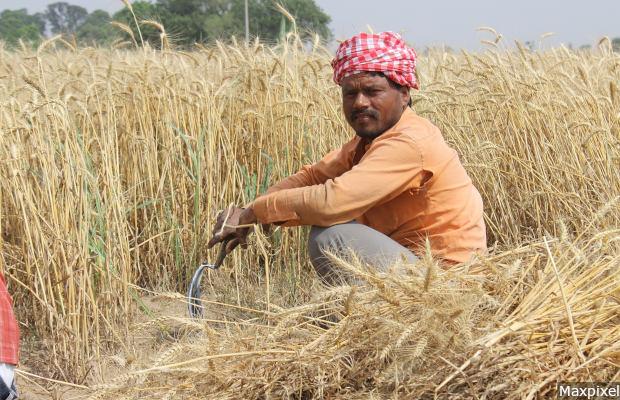 Patiala Wheat Fields India Men Punjab Farmer